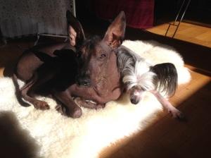 Two dogs on a fleece in a sun spot
